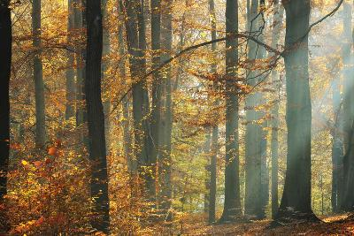 Sunbeams in a Colorful Autumnal Beech Forest