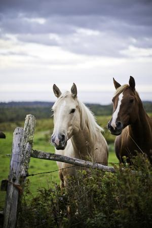 Two Horses Standing near Fence