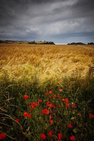 Poppies, Hay Field, Sea