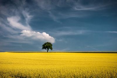 Lonely Tree in Rapeseed Field
