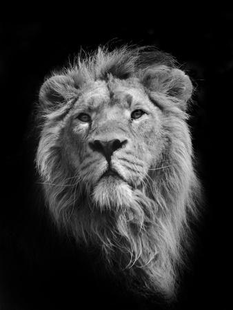the king asiatic lion photographic print by stephen bridson