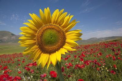Sunflower and Red Poppies