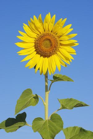 Sunflower (Helianthus Annuus) against Blue Sky.