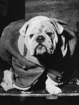Cosy Bulldog