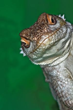Look Reptile, Lizard Interested by Camera