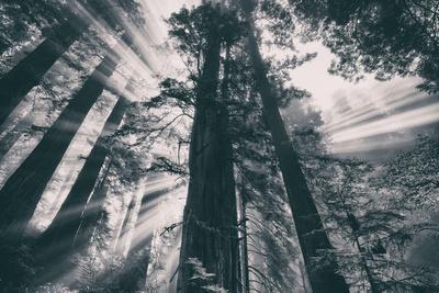 Energy, Redwoods and Morning Light, California Coast