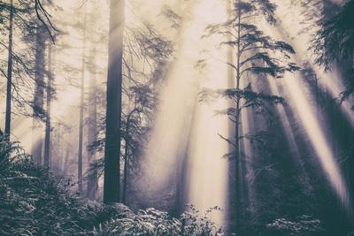 Dvine Light Beams in the Del Norte Coast Redwoods California State Parks