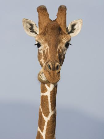Reticulated Giraffe Chewing, Giraffa Camelopardalis, Kenya, Africa