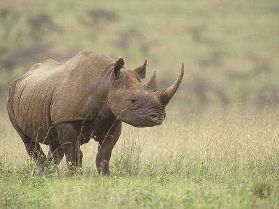 Black Rhinoceros, Diceros Bicornis, an Endangered Species, Nairobi National Park, Kenya, Africa