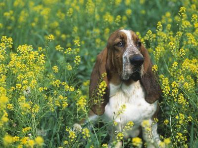 Basset Hound Sitting in a Field of Wild Mustard