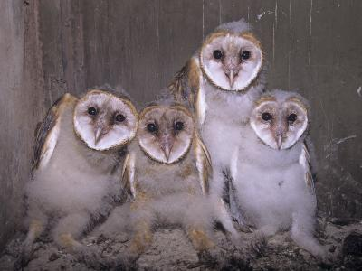 Barn Owl Chicks in their Nest in a Barn, Tyto Alba, an Endangered Species, USA