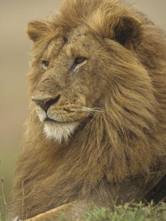 An Adult Male Lion, Panthera Leo, Masai Mara Game Reserve, Kenya, Africa