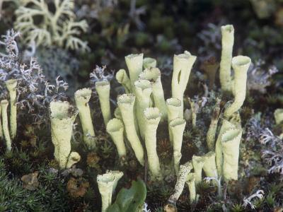 Pixie Cup Lichens, Cladonia, on the Forest Floor, Northern USA