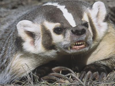 American Badger Snarling and Showing Showing its Long, Digging Claws, Taxidea Taxus, North America