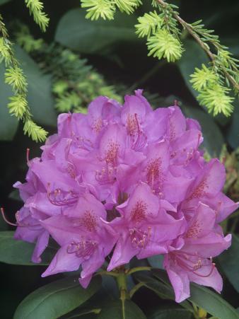Flowering Rosebay Rhododendron, Rhododendron Maximum, Eastern North America