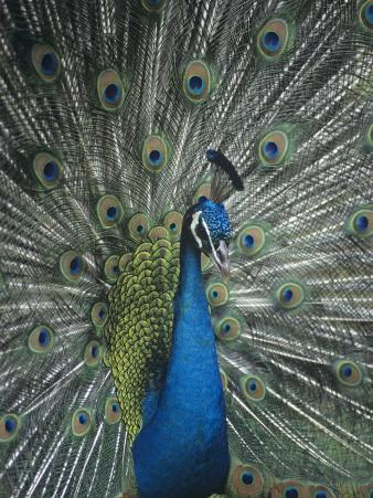 Male Peacock Displaying, Pavo Cristatus