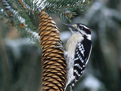 Male Downy Woodpecker (Picoides Pubescens) on a Spruce Cone, Eastern North America
