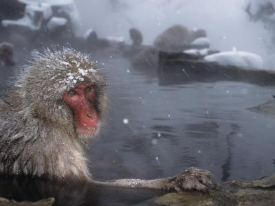 Snow Monkey Sitting in a Hot Spring on a Snowy Day (Macaca Fuscata), Japan, Asia