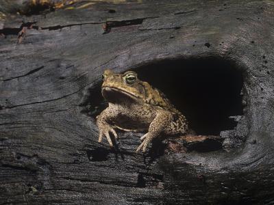 Marine Toad (Bufo Marinus) an Introduced Species. Florida, USA
