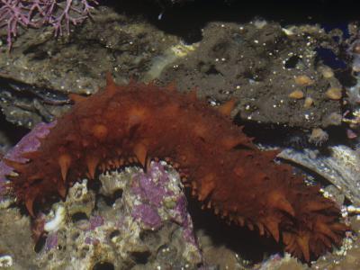 California Sea Cucumber, Parastichopus Californicus, California, Usa, Pacific Ocean