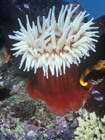 Fish Eating Anemone (Urticina Piscivora), California, USA