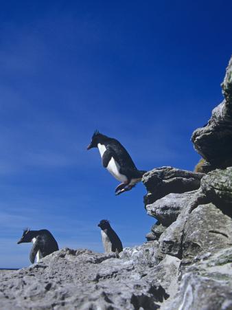 A Rockhopper Penguin Hopping Rocks, Eudyptes Chrysocome, Falkland Islands