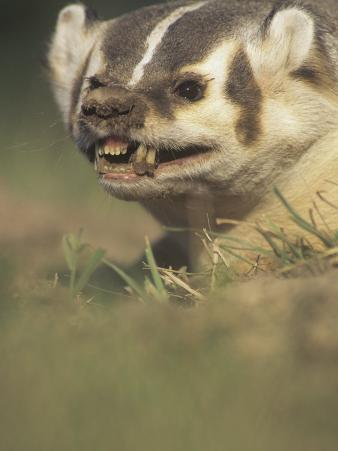 American Badger, Taxidea Taxus, Snarling When Disturbed While Digging its Burrow, North America