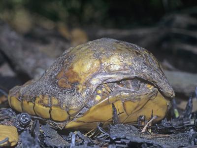 Eastern Box Turtle, Terrepene Carolina, Survivor of Forest Fires. USA
