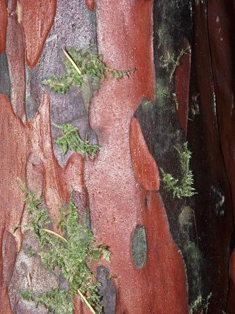 Pacific Yew Tree, Taxus Brevifolia, Close-Up of Bark, Taxus Brevifolia