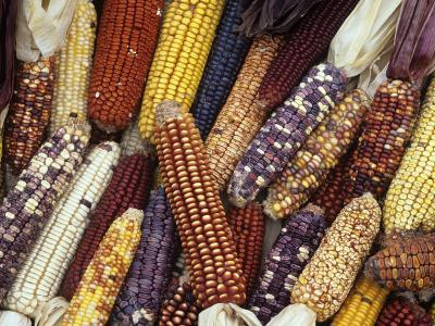 Heirloom Corn Varieties, Zea Mays