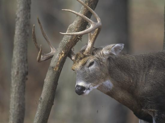 White Tailed Deer Buck Rubbing Its Antlers On A Tree