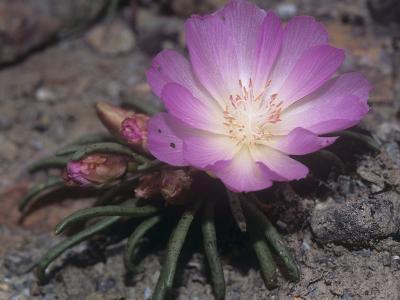 Bitterroot, Lewisia Rediviva, the Montana State Flower, USA