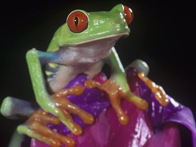 Red-Eyed Treefrog, Agalychnis Callidryas, Central America
