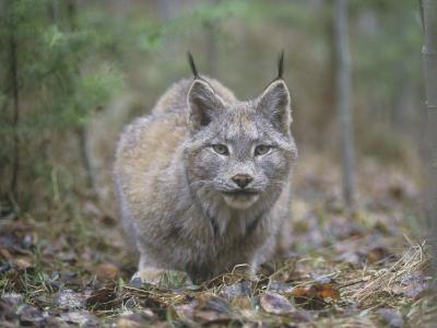 Canada Lynx (Lynx Canadensis), North America