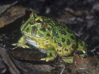 Argentine or Ornate Horned Frog, Ceratophrys Ornata, South America