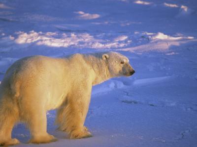 Polar Bear Walking across Ice in the Glow of the Midnight Sun (Ursus Maritimus), North America