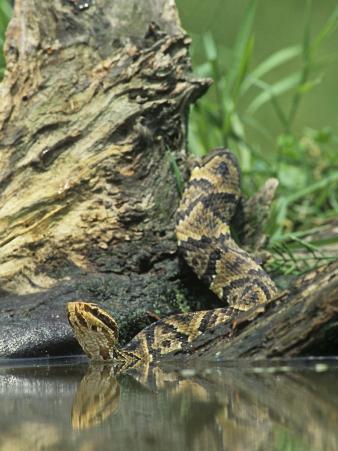Cottonmouth Snake Entering Water, Agkistrodon Piscivorus, Southern USA