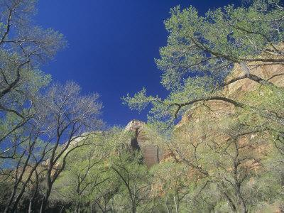 Cottonwood Trees, Populus, in the Spring, Zion National Park, Utah, USA