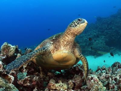 Green Sea Turtle, Chelonia Mydas, Resting on a Coral Reef Off Maui, Hawaii, USA