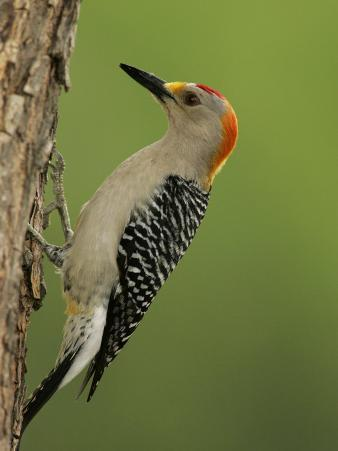 Male Golden-Fronted Woodpecker, Melanerpes Aurifrons, Texas, USA