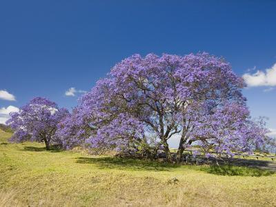 Lavender-Colored Blossoms on Jacaranda Trees (Jacaranda Mimosifolia) in a Field, Maui, Hawaii, USA