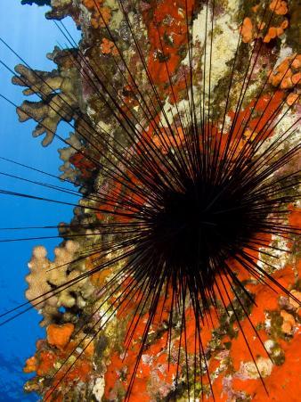 Long-Spined Sea Urchin (Diadema Paucispinum) Among Encrusting Red Sponges, Hawaii, USA