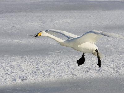 Whooper Swan in Flight, Olor Cygnus