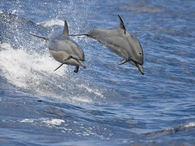 Spinner Dolphins (Stenella Longirostris) Leaping into the Air at the Same Time, Hawaii, USA