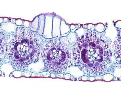 Corn, Zea Mays, Monocot Leaf Showing Bulliform Cells, Vascular Bundles, and Stomates