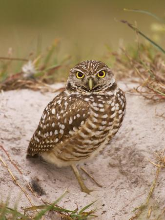 Burrowing Owl (Athene Cunicularia) Outside of the Burrow