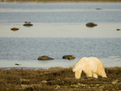 A Polar Bear, Ursus Maritimus, on the Summer Arctic Tundra Near Hudson Bay, Canada, North America
