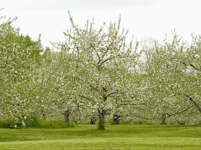Flowering Apple Orchard in the Spring (Malus), New Hampshire, USA