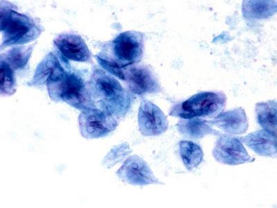Giardia Lamblia Protozoa. Brightfield