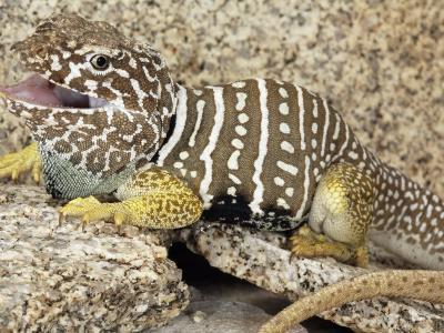 An Adult Baja Collared Lizard, Crotaphytus, in Breeding Coloration